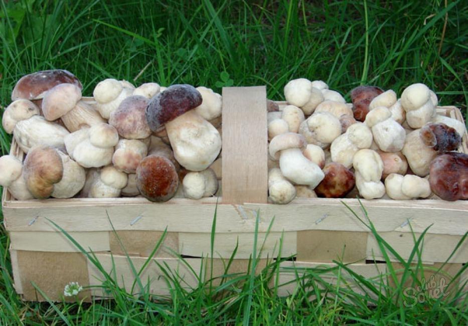 Можно ли вырастить белые грибы в теплице?