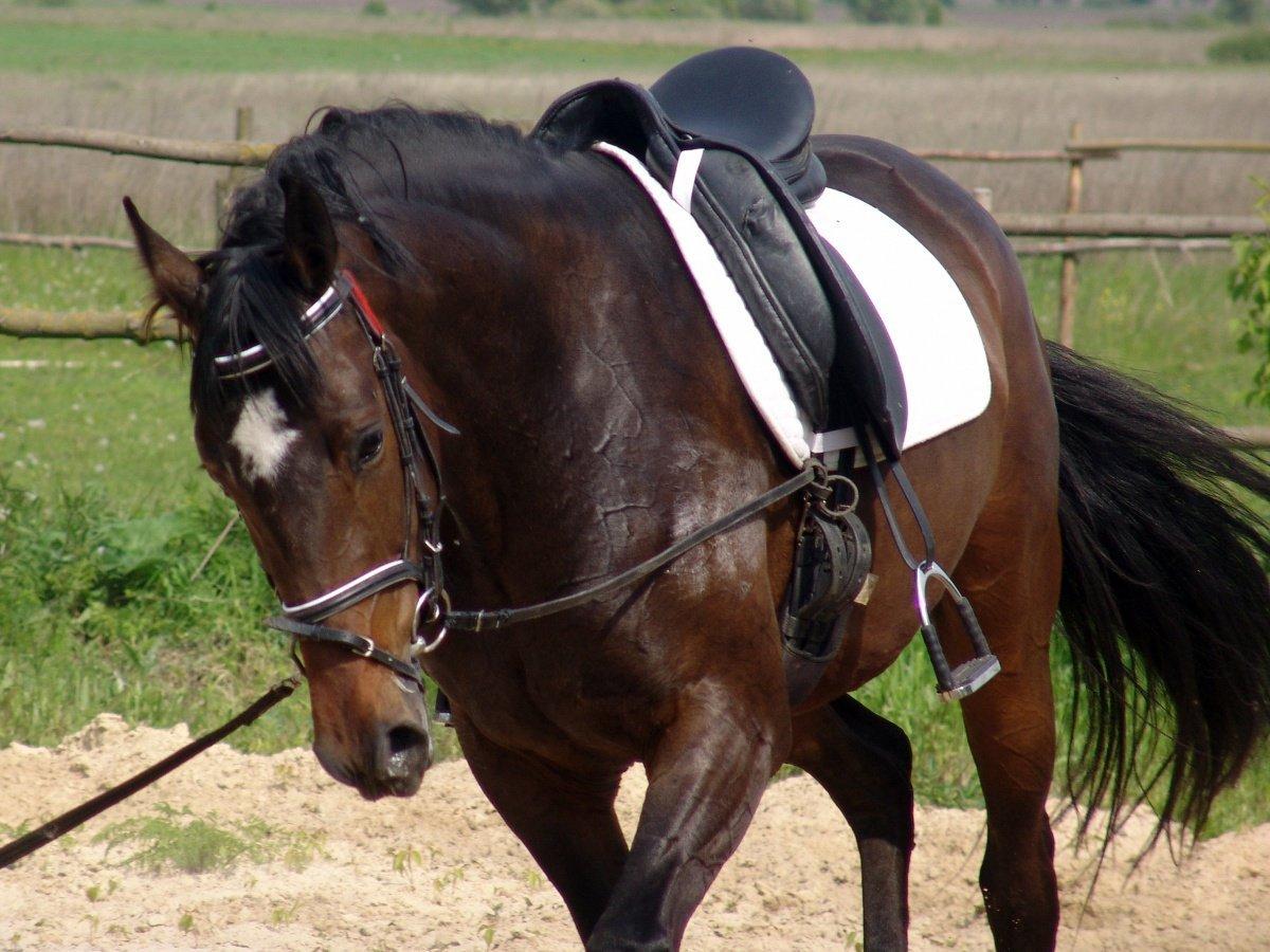 Как приучить лошадь к седлу