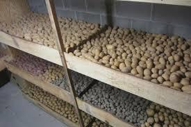 Хранение картофеля (распространенные ошибки)