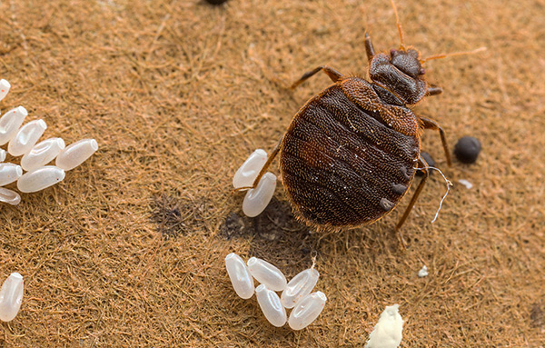 Ремонт или служба уничтожения насекомых: какая альтернатива более приемлема?